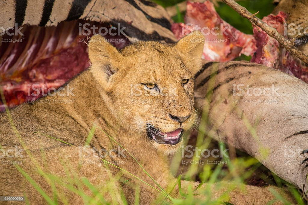 Lions at Sabi Sand Game Reserve stock photo