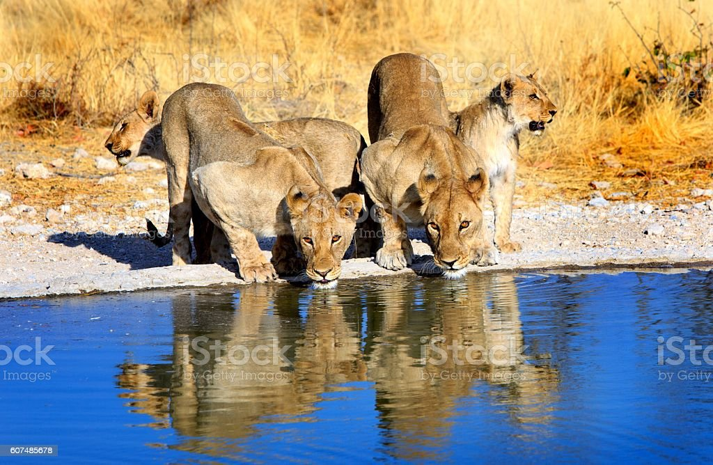 Lions drinking from a waterhole with good reflection stock photo