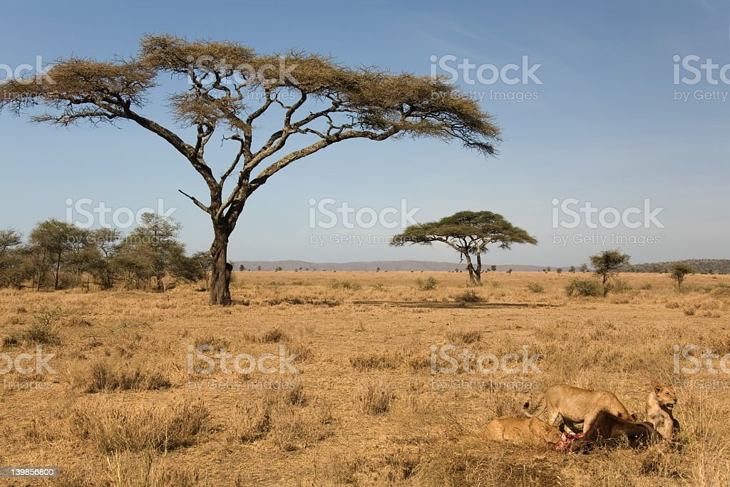 Lions eating an animal in the wild near indigenous trees stock photo