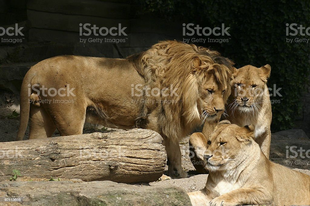 Lions family royalty-free stock photo