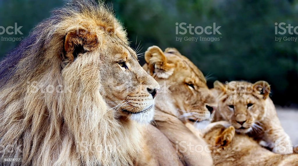 Lions family resting (focus on father) stock photo