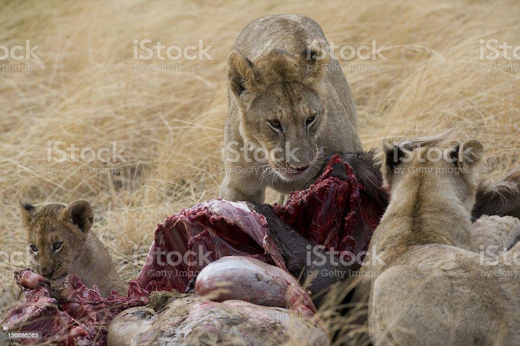 Lions se nourrir Gnou revêtement du Masaï Mara photo libre de droits