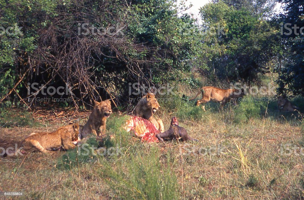 Lions feeding savanna landscape Akagera National park Rwanda Africa stock photo
