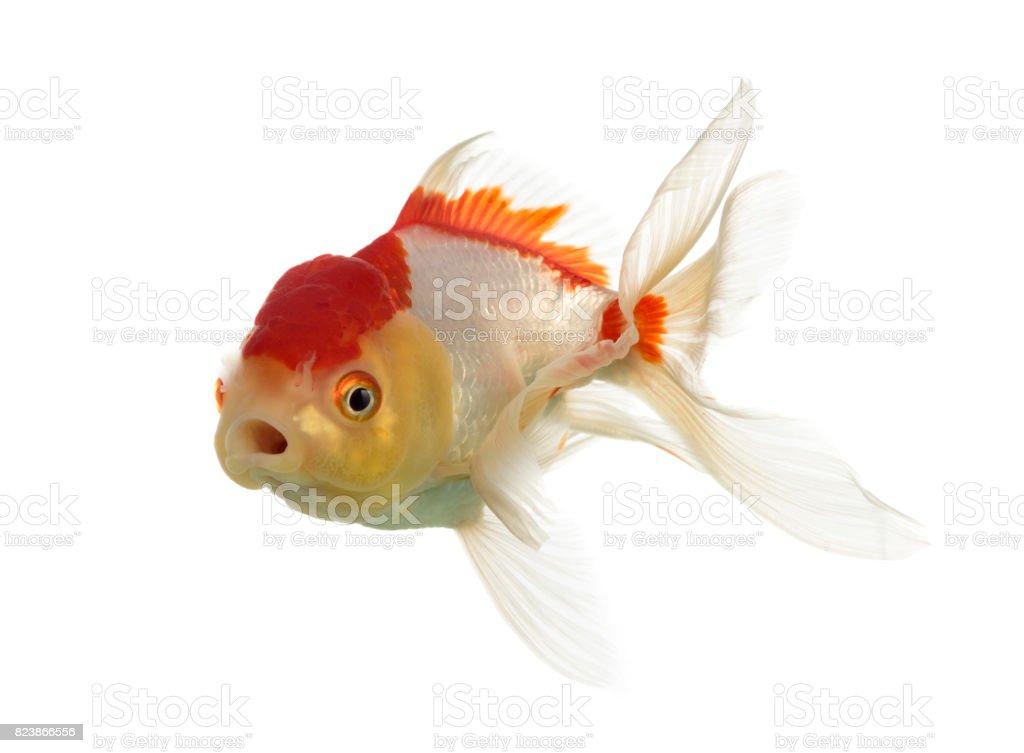 Lion's head goldfish opening mouth isolated on white stock photo