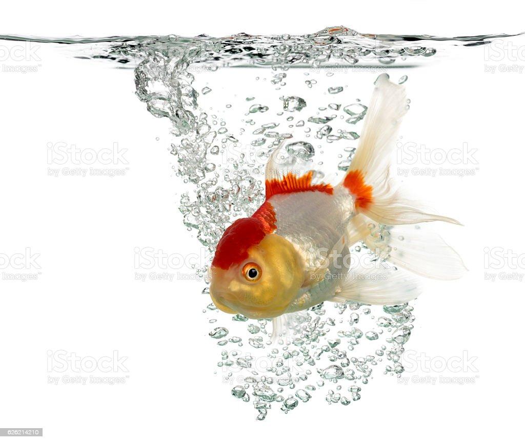 Lion's head goldfish swimming isolated on white stock photo