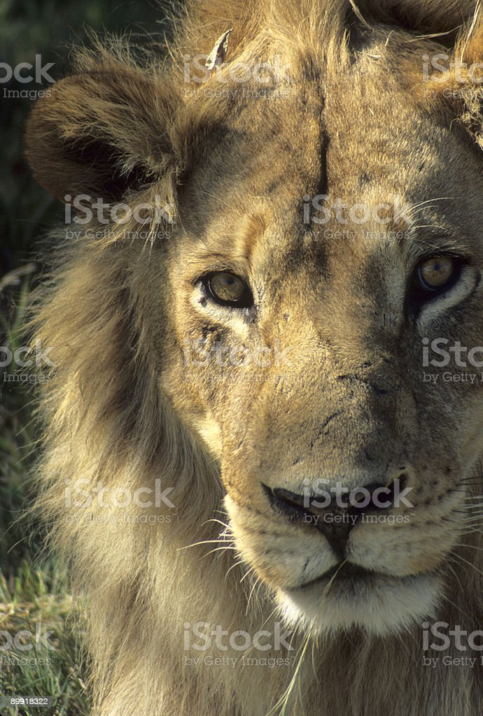 Lion's head, male, close up stock photo