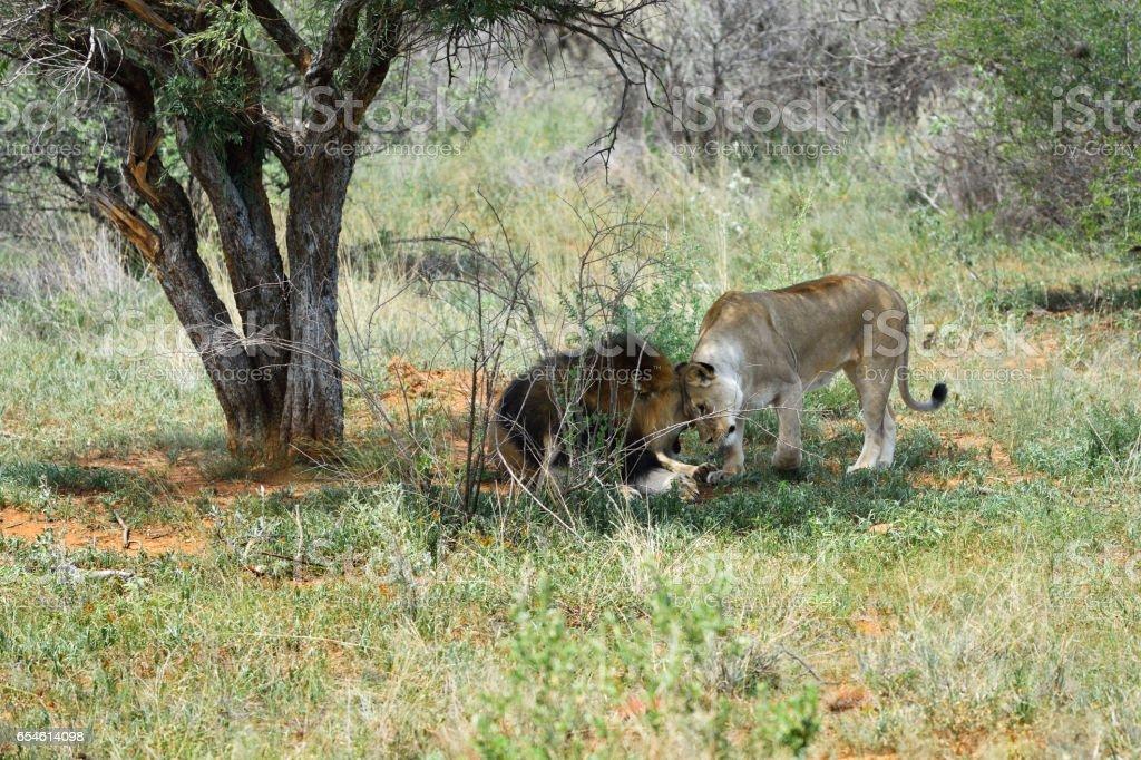 Lions in Etosha, Namibia stock photo