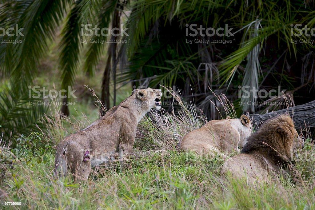 Lions in Masai-Mara royalty-free stock photo