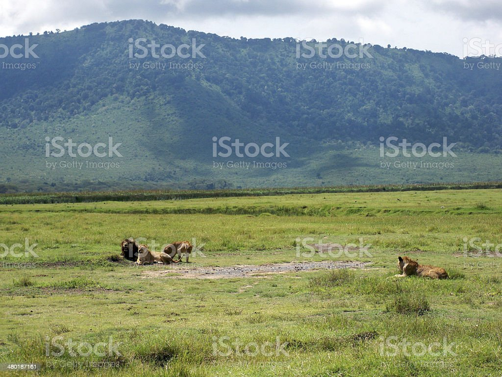 Lions in Ngorongo stock photo