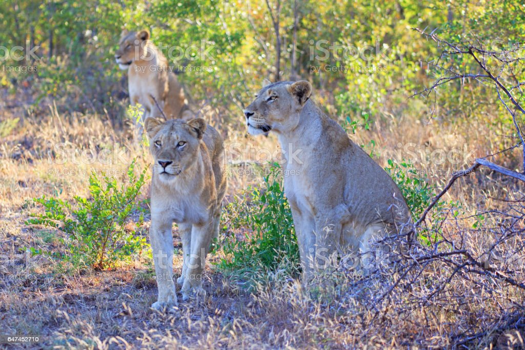 Lions in the Sabi Sands Private Game Reserve in South Africa stock photo