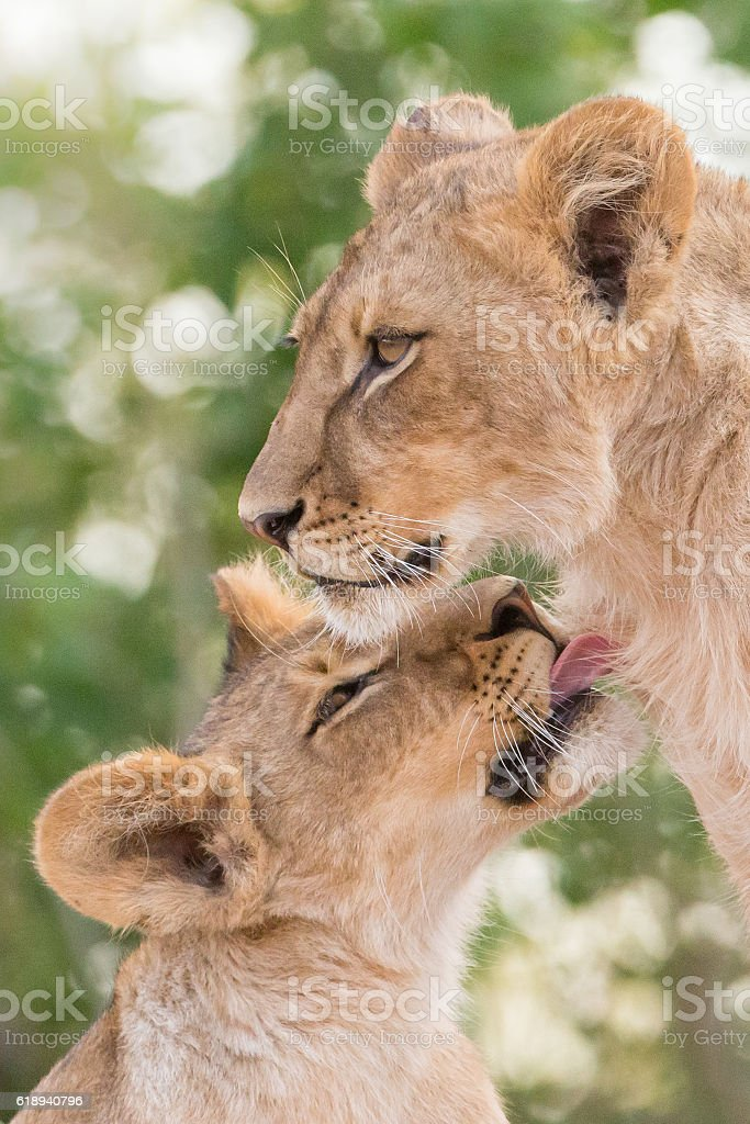 Lions licking each other stock photo