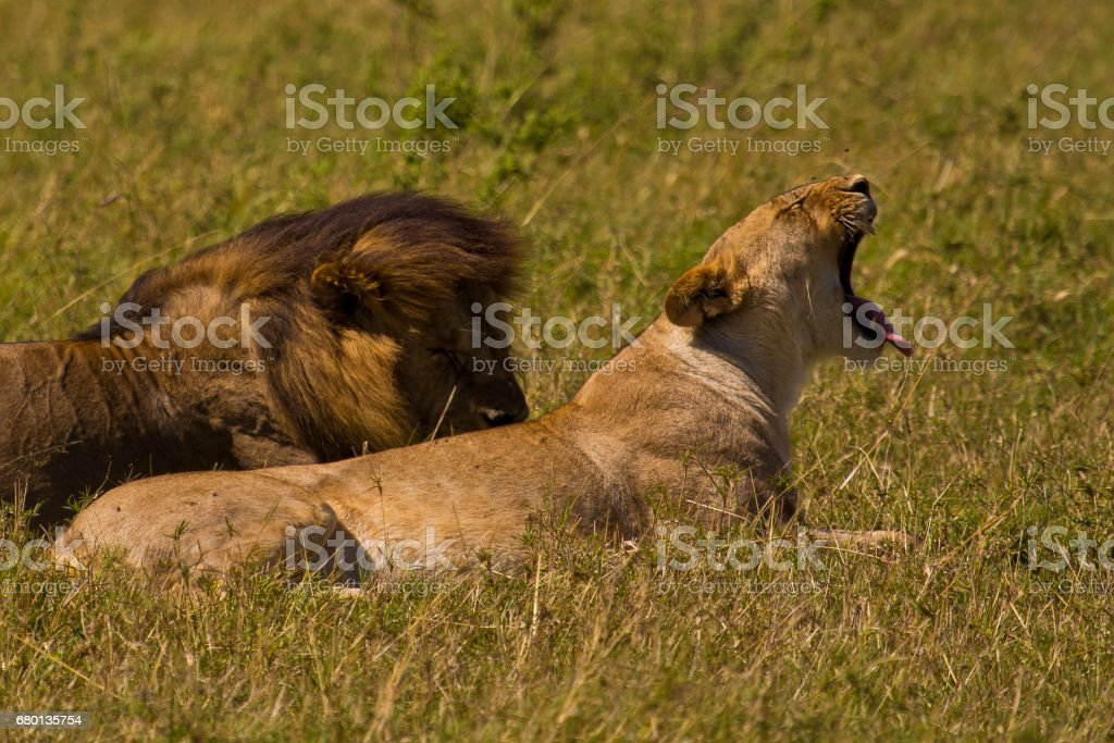 Lions Male and Female stock photo
