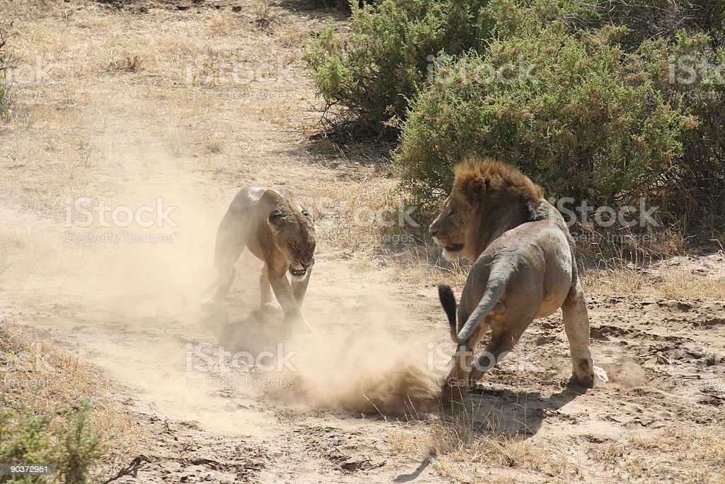 Lions Mating 7 royalty-free stock photo
