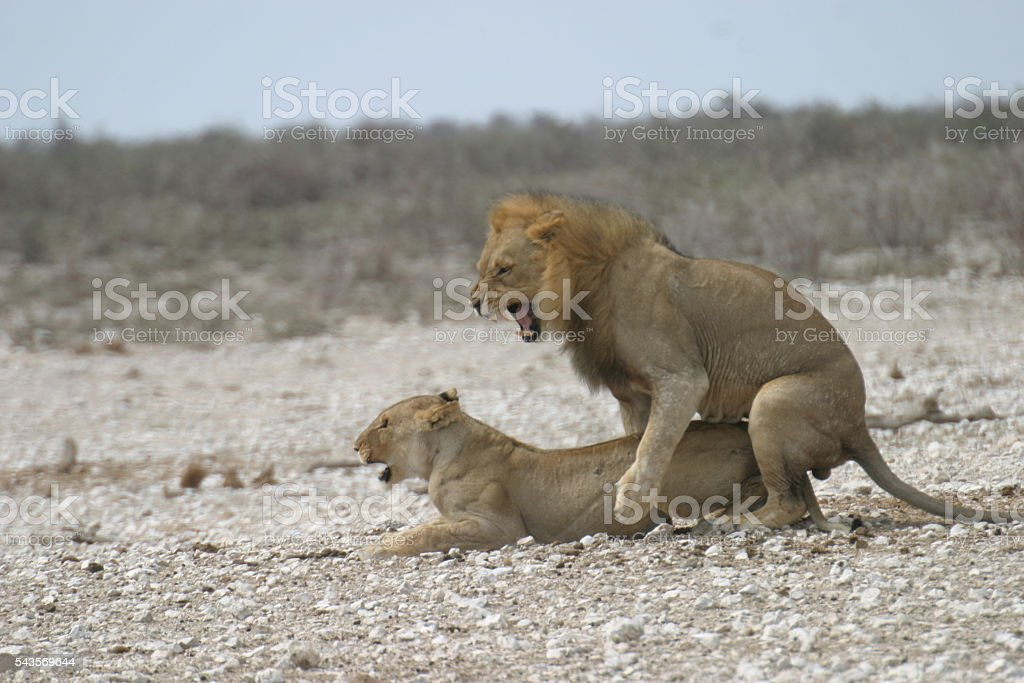 Lions Mating in Namibia stock photo