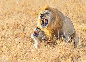 Lions Mating in the Serengeti Savanna, Tanzania Africa