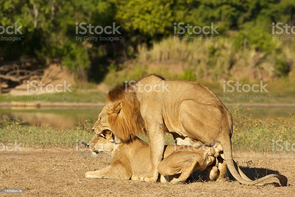 Lions mating stock photo