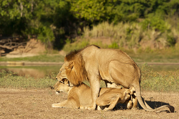mating animals animal lions istock royalty similar istockphoto related