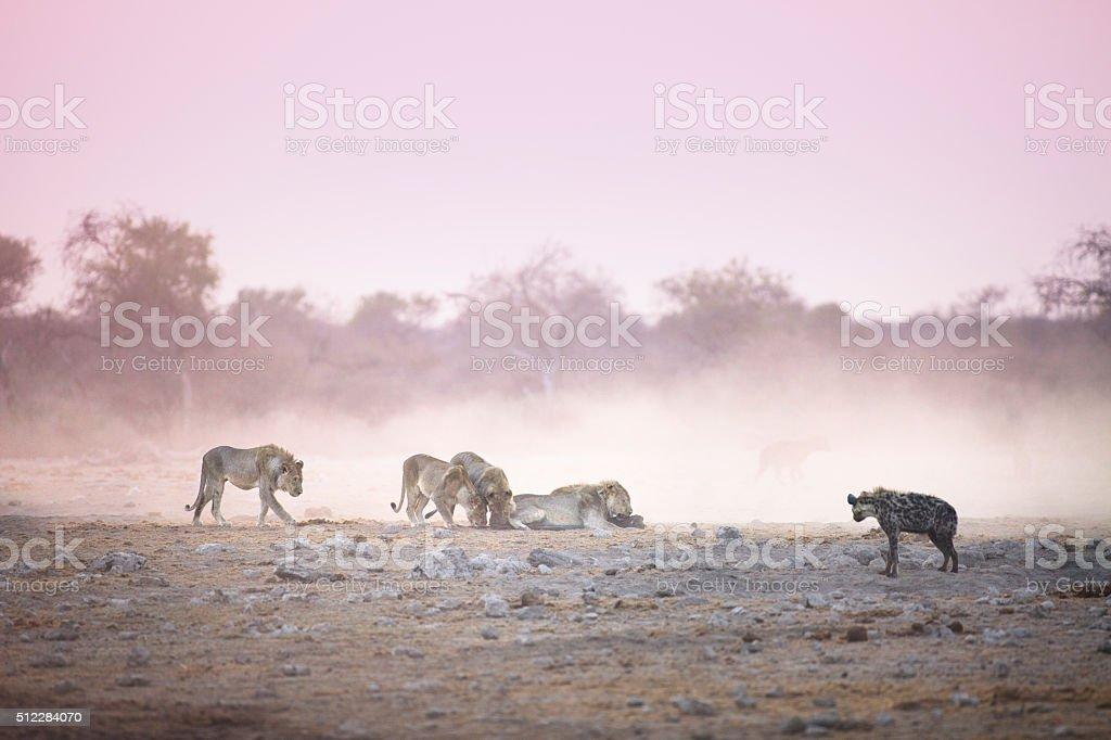 Lions on a kill stock photo