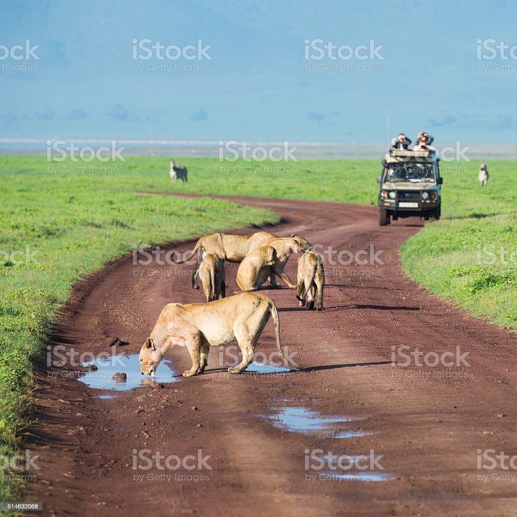 Lions on African Safari in Tanzania stock photo
