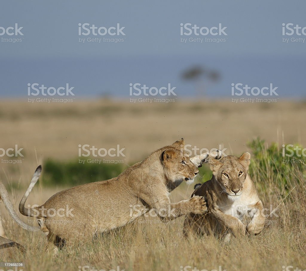 Lions playing royalty-free stock photo