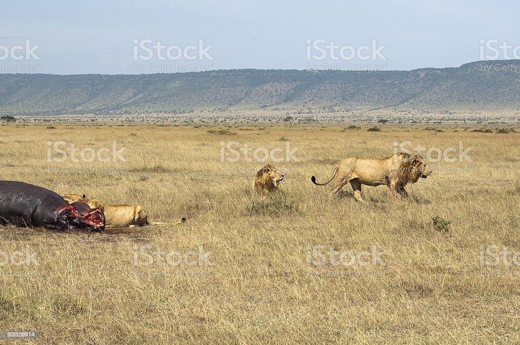 Lions pride  sharing  hippopotamus kill royalty-free stock photo