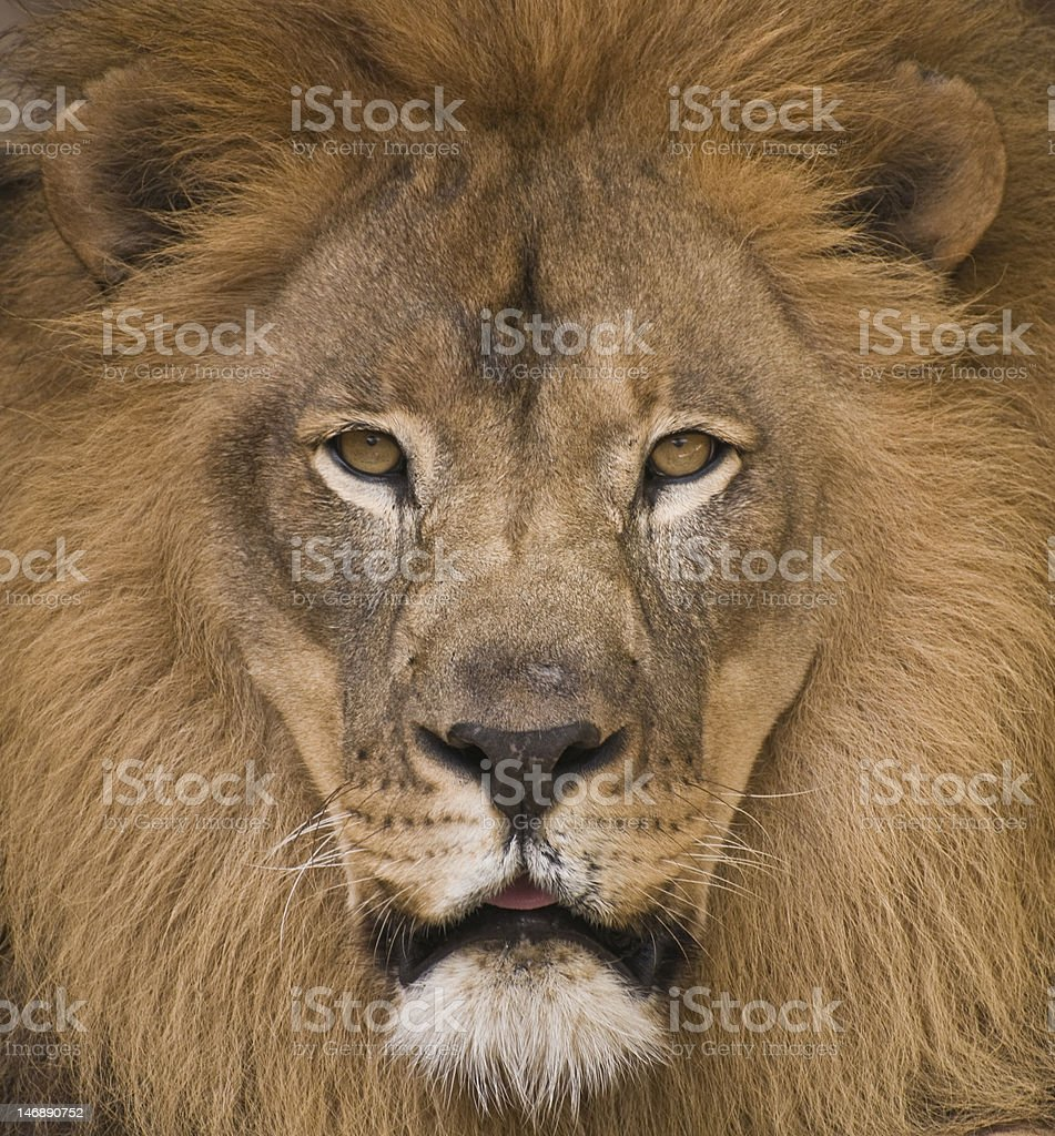 Lion's Stare royalty-free stock photo