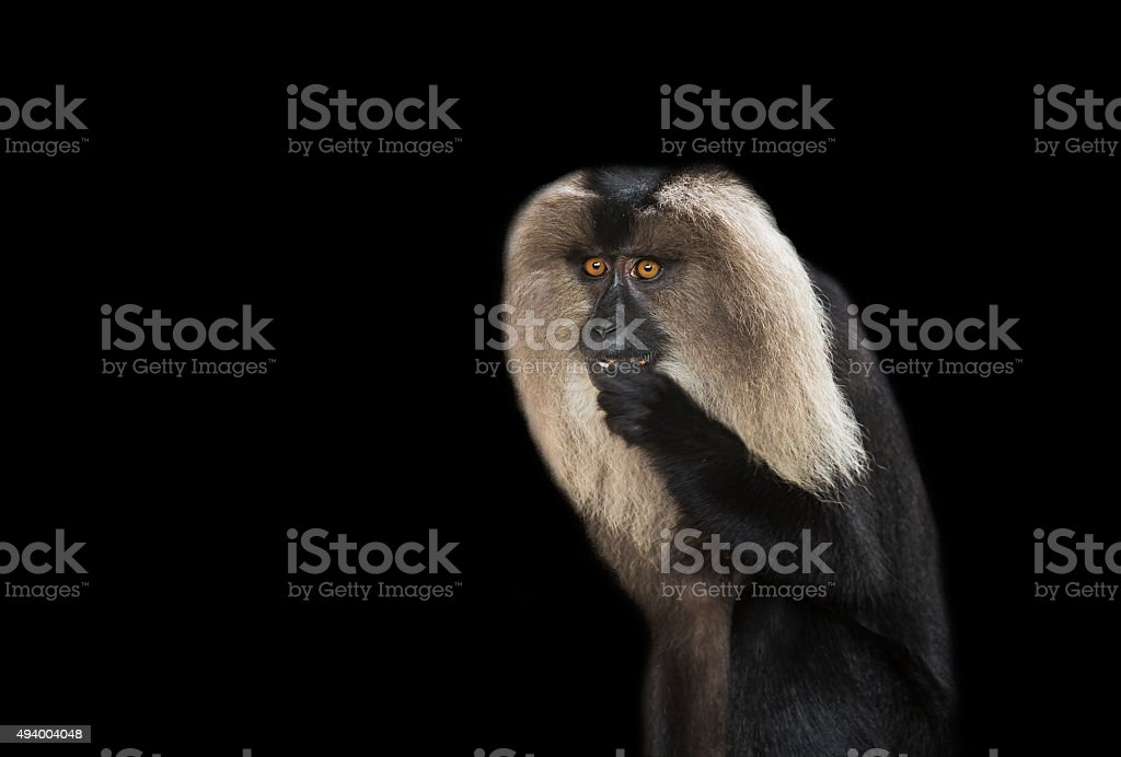Lion-tailed Macaque(Macaca silenus) royalty-free stock photo