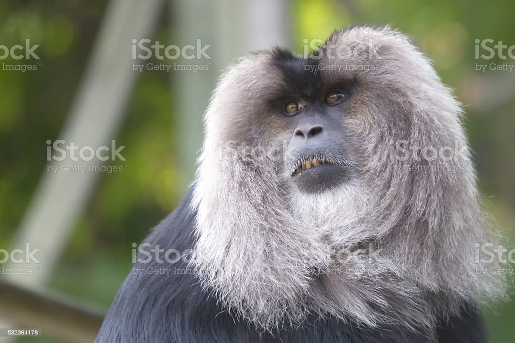 Lion-tailed Macaque stock photo