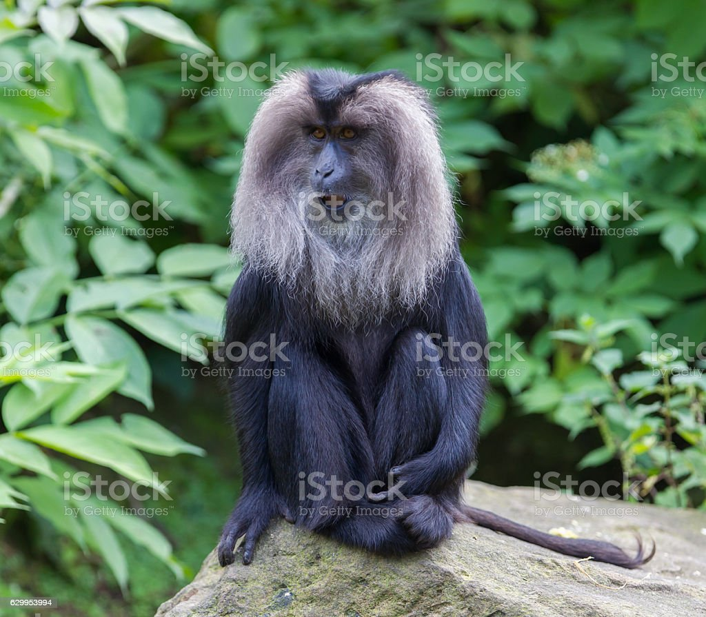 Lion-tailed Macaque (Macaca silenus) stock photo