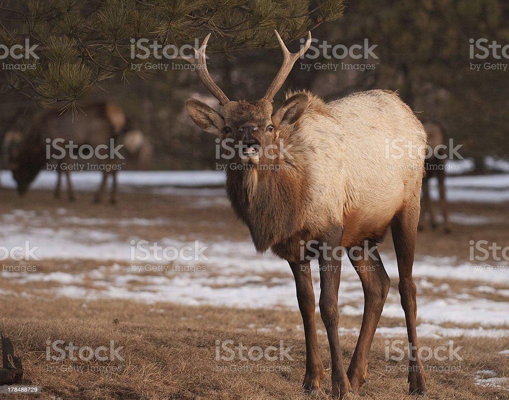 Lip-Curling Spike Elk royalty-free stock photo