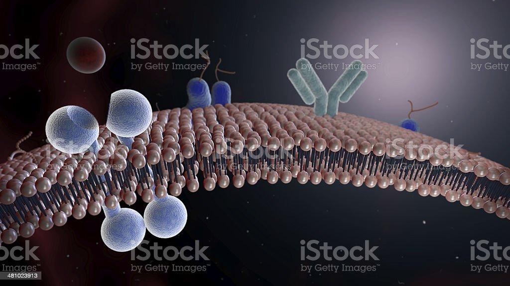 Lipid Bilayer Cell Membrane with Tyrosine Receptor stock photo
