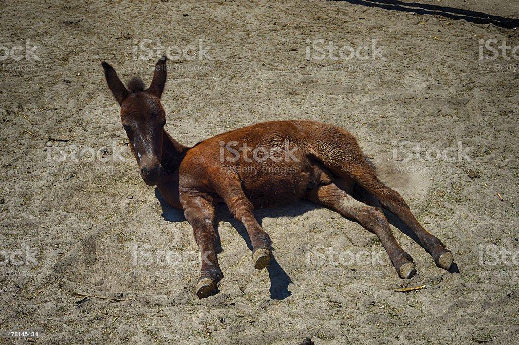 Lipizzan horse. Lippizaner stock photo