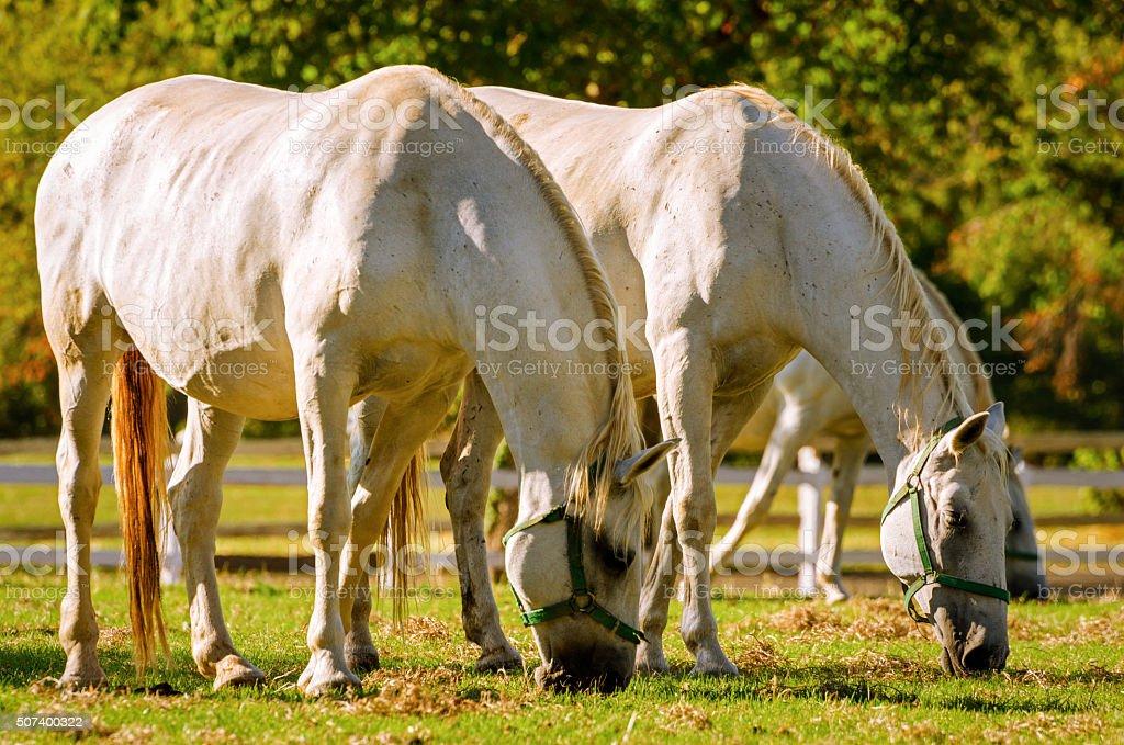 Lipizzan horses (Lipica Slovenia) stock photo