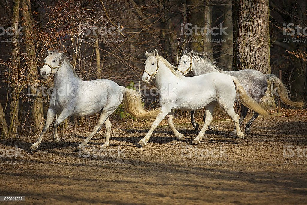 Lipizzan horses running stock photo