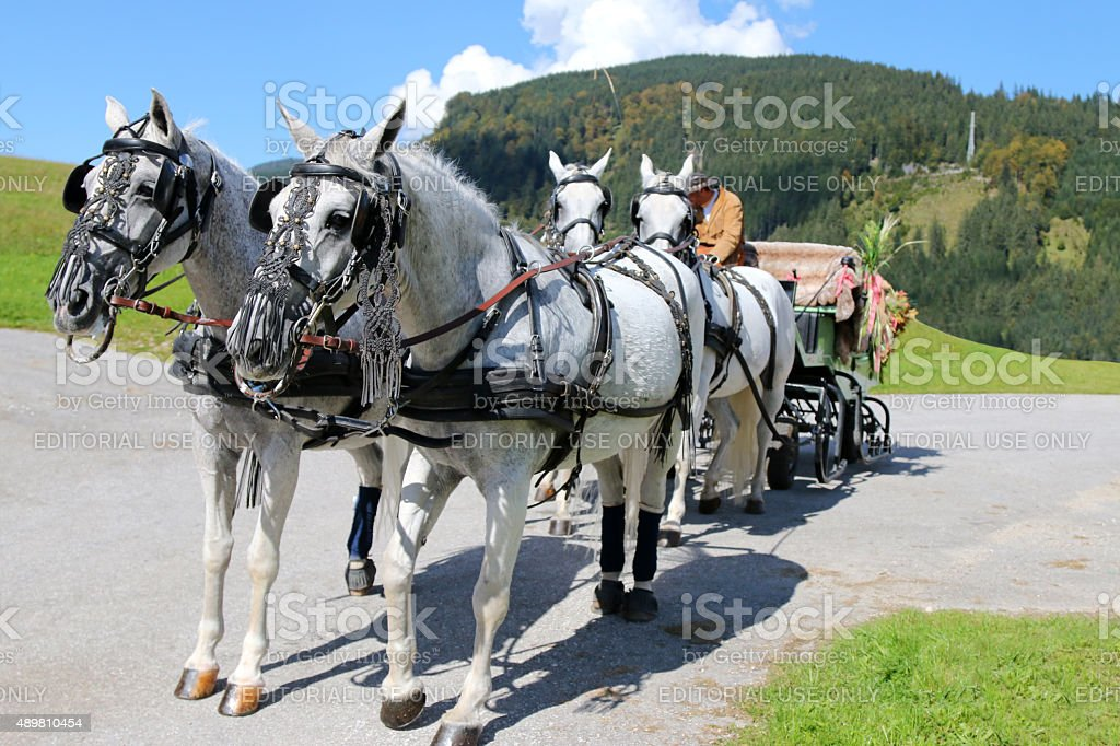 Lipizzan Horses with harness (Lipizzaner) in Austria stock photo