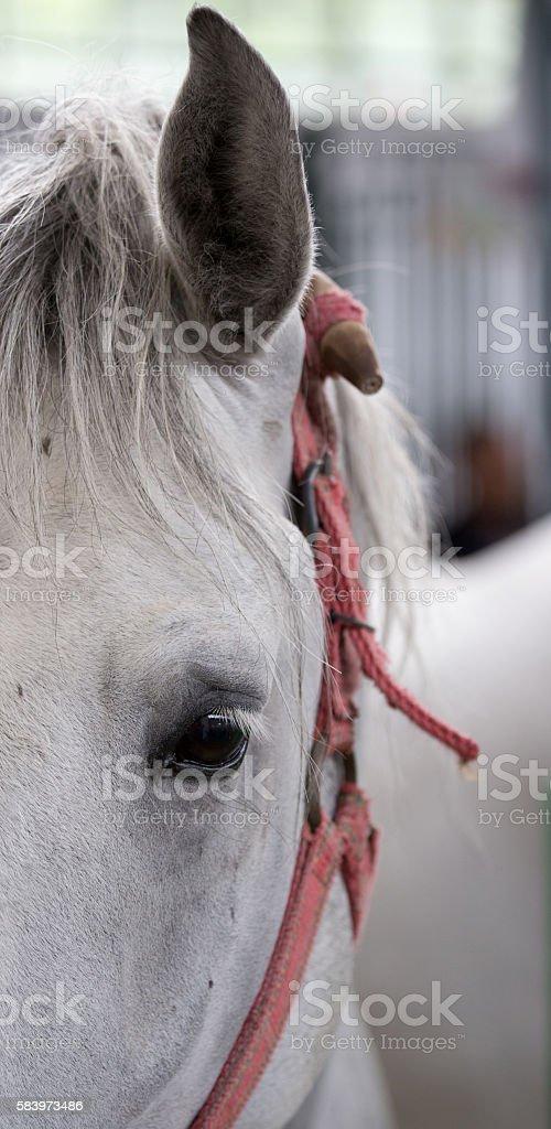 Lipizzaner horse eye stock photo