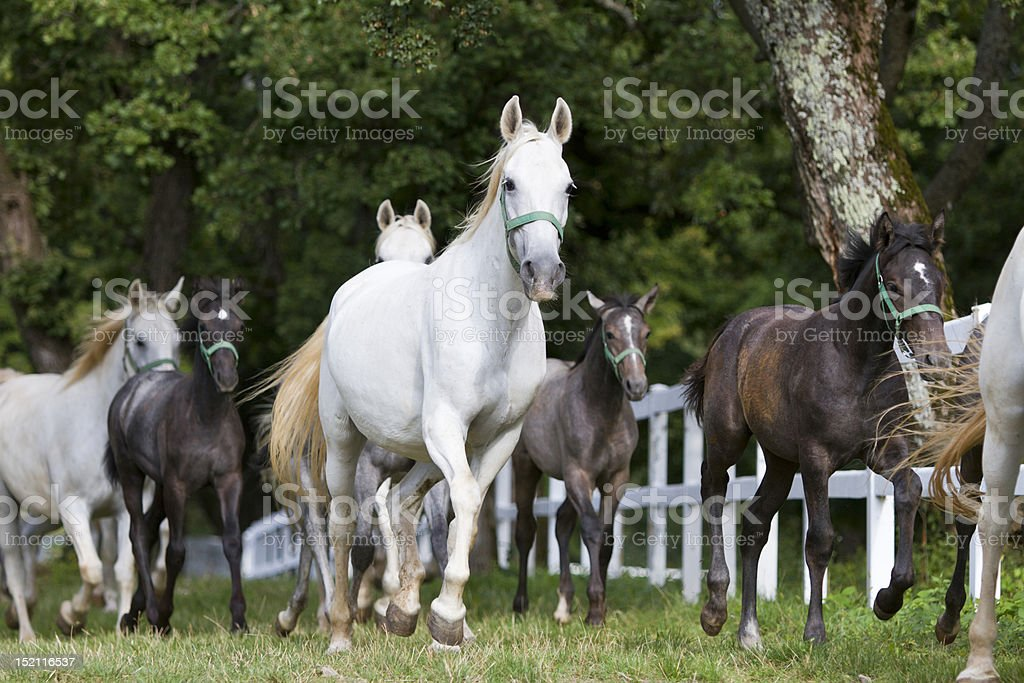 Lipizzaner horse royalty-free stock photo