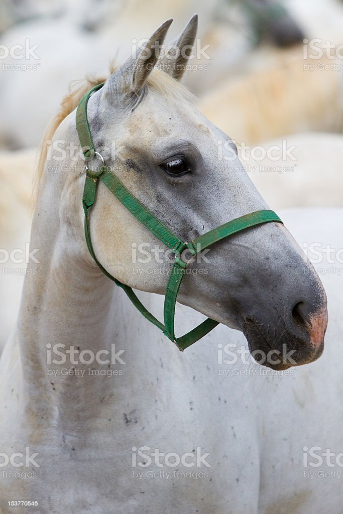 Lipizzaner horse royalty-free stock photo