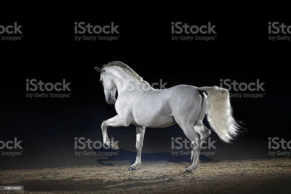 Lipizzaner horse trotting free royalty-free stock photo