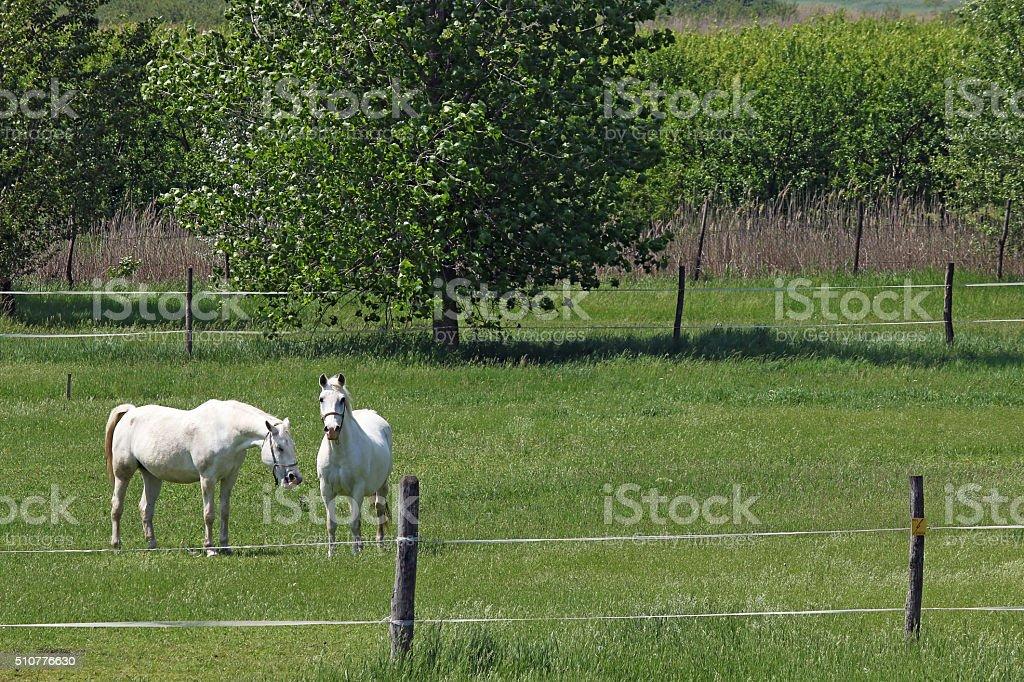 Lipizzaner horses on green field spring season stock photo