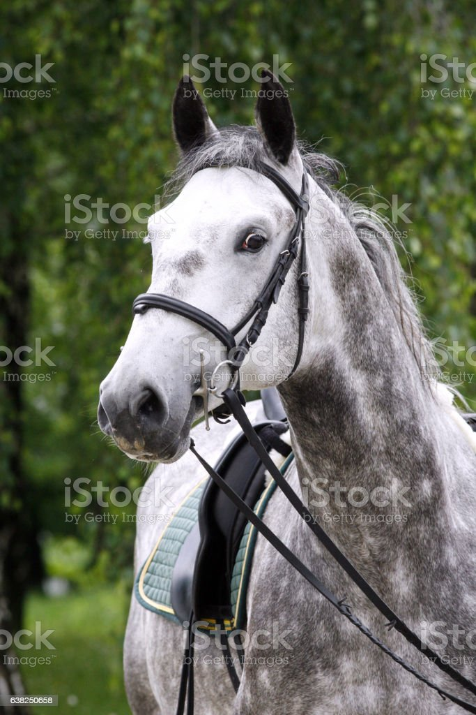 Lipizzaner stallion under saddle on beautiful animal farm summer stock photo