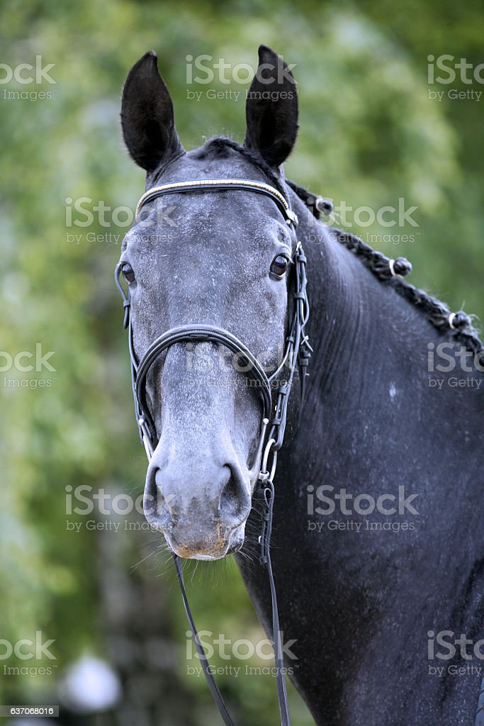 Lipizzaner stallion with braided mane on beautiful animal farm s stock photo