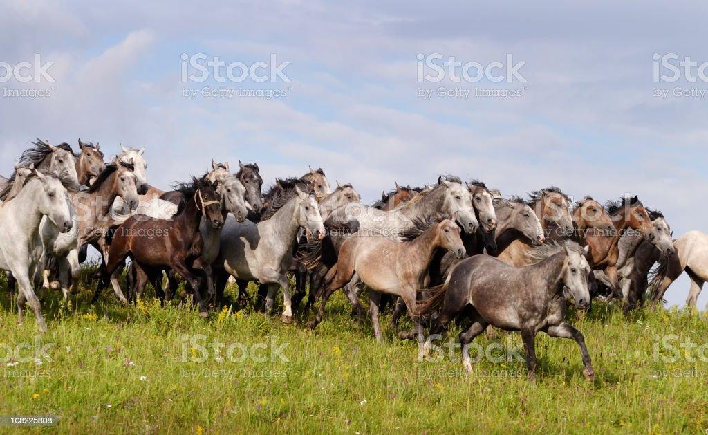 Lipizzaner stud galloping free stock photo