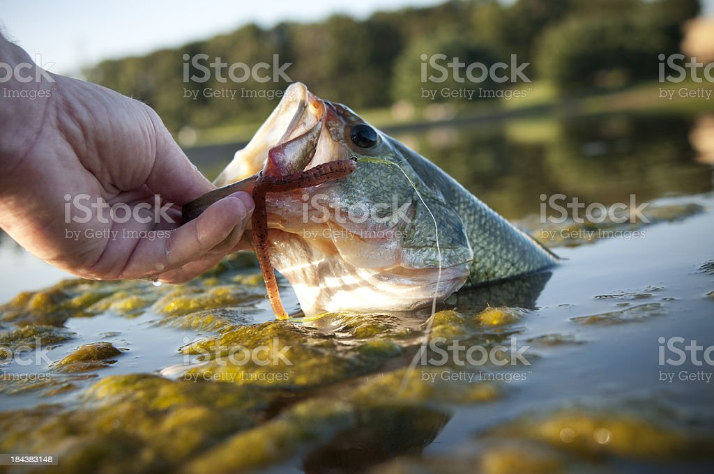 Lipping a bass royalty-free stock photo