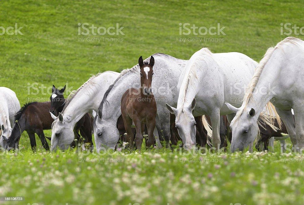 Lippizan horses on the meadow stock photo