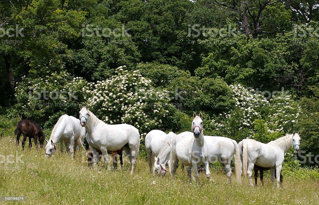 Lippizan Horses stock photo
