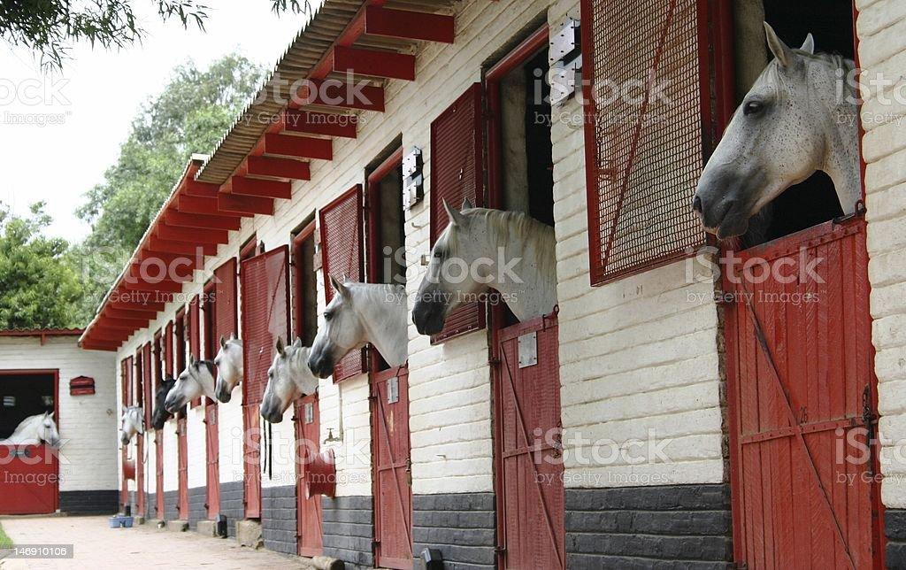 Lippizan Horses Stabled stock photo