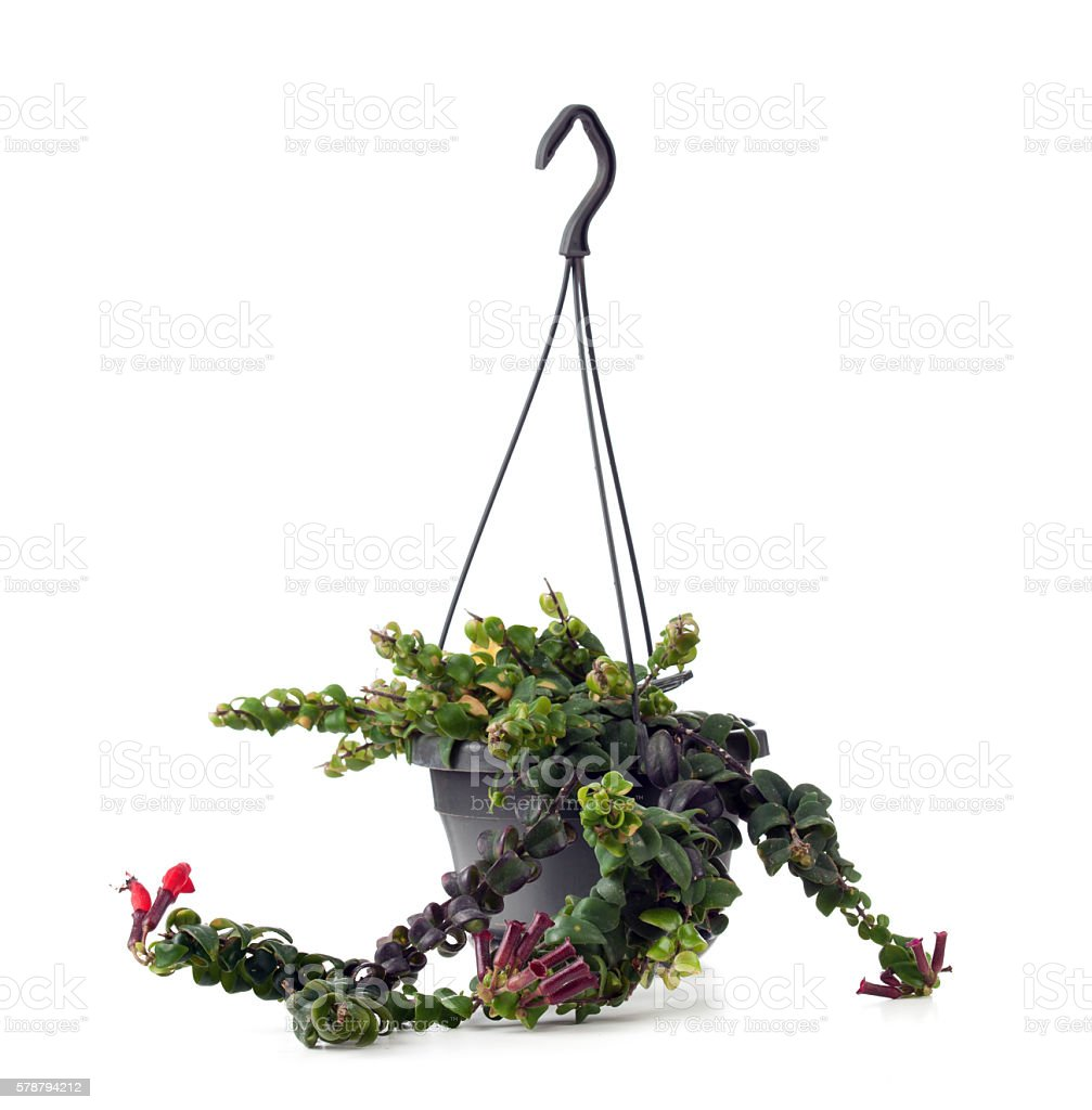 Lipstick Plant with flowers. Aeschynanthus radicans Jack. stock photo