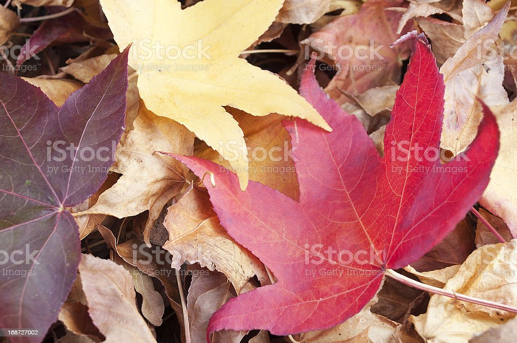 Liquidambar styraciflua red leaf on a pile of dry leaves royalty-free stock photo