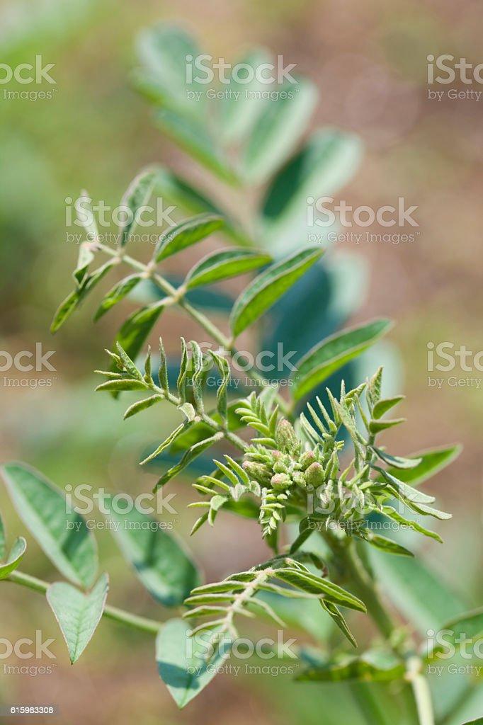 Liquorice herb stock photo